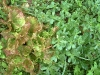 purslane/lettuce
