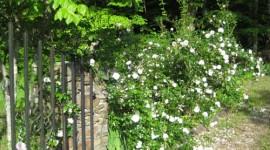 Gate Rose