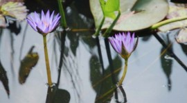 Lily Pair