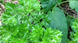 Herbs & 1 Gourd Plant
